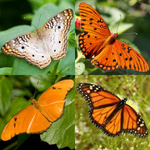 Mix Species Butterflies with Butterfly Accordion Box