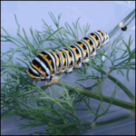 Eastern Black Swallowtail Butterfly Caterpillars - Papilio polyxenes