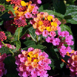 Ham and Eggs - Lantana camara