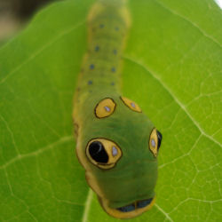 Spicebush Swallowtail Butterfly Caterpillars - Papilio troilus