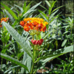 Tropical Milkweed - Asclepias curassavica