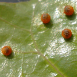 Pipevine Swallowtail Butterfly Eggs (Battus philenor)