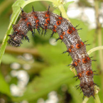 Red Admiral Caterpillars-Vanessa atalana
