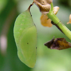 White Peacock  Chrysalises - (Anartia jatrophae)