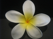 "5 ""STAR POINTED PETAL PLUMERIA FLOWER HAIR PICK White w/ Yellow Center"