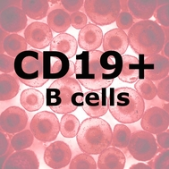 ImmunoPure™ HD B Cells CD19