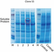 Protein Expression