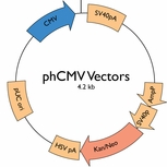 FAQs: phCMV Mammalian Expression Vectors