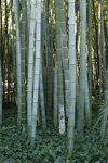 15 Seeds Phyllostachys pubescens Moso Seeds GIiant bamboo