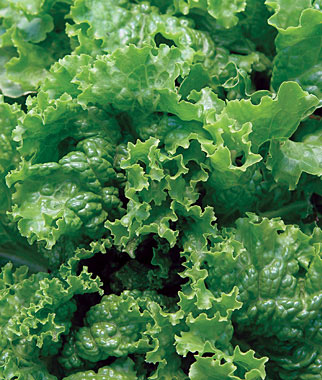 Green Ice Lettuce Seed
