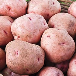 Red Pontiac Seed Potatoes 50 lbs