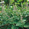 200 +  Ocimum sanctum Seeds, Tulsi Seeds, Red Holy Basil Seeds