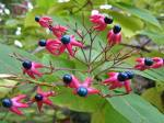 20 Clerodendrum trichotomum, Harlequin glorybower Seeds
