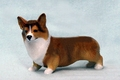 Sable Pembroke Welsh Corgi
