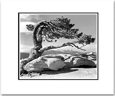 JEFFREY PINE, YOSEMITE NATIONAL PARK