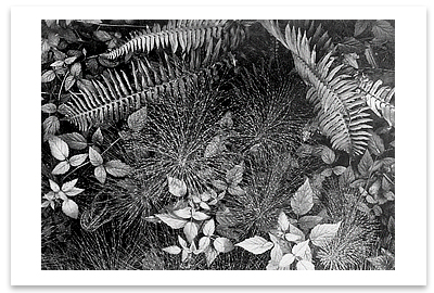 LEAVES, SCREEN SUBJECT, MILLS COLLEGE, CA, 1931