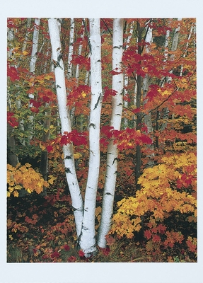 BIRCHES AND MAPLES IN AUTUMN, WHITE MOUNTAIN NATIONAL FOREST, NH
