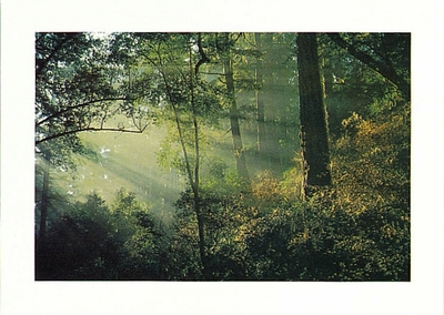 MIXED EVERGREEN FORESTS, POINT REYES NATIONAL SEASHORE - LARGE POSTCARD