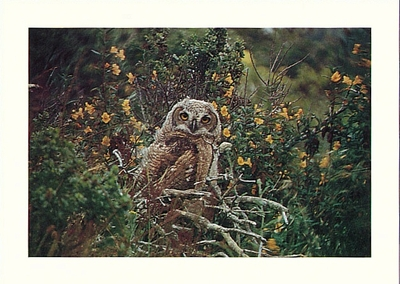 YOUNG GREAT HORNED OWL, POINT REYES NATIONAL SEASHORE - LARGE POSTCARD