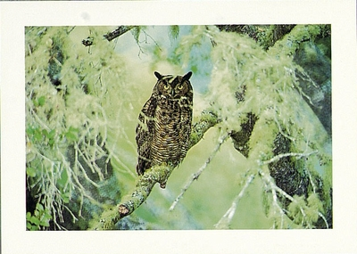 GREAT HORNED OWL - LARGE POSTCARD