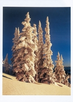 SNOW CLOAKED TREES AT DAWN, CARIBOO MOUNTAINS, BRITISH COLUMBIA - HOLIDAY CARDS