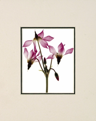 SHOOTING STARS - SMALL MATTED REPRODUCTION