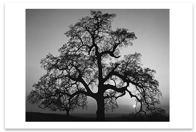 OAK TREE, SUNSET CITY, SIERRA FOOTHILLS, CA, 1962