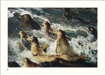 HARBOR SEALS, BOLINAS LAGOON, TOMALES BAY AND POINT REYES - LARGE POSTCARD