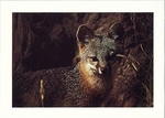 GRAY FOX, POINT REYES NATIONAL SEASHORE - LARGE POSTCARD