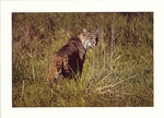 BOBCAT, POINT REYES NATIONAL SEASHORE - LARGE POSTCARD