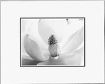 MAGNOLIA BLOSSOM - SMALL MATTED REPRODUCTION