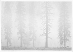 PINES, MIST, EL CAPITAN MEADOW, YOSEMITE NATIONAL PARK