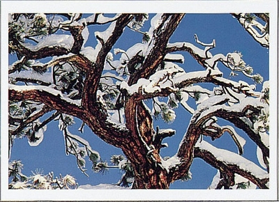 CANOPY OF JEFFREY PINE WITH SNOW, EASTERN SIERRA NEVADA, CA