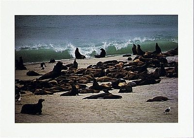 CALIFORNIA SEA LIONS