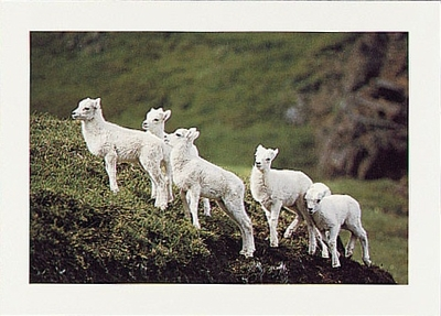 DALL SHEEP LAMBS, ALASKA