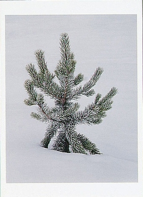 FROST COVERED LODGEPOLE PINE, YELLOWSTONE NATIONAL PARK, WY, 1995 - HOLIDAY CARDS