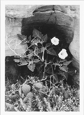 DATURA FLOWER, CANYON DE CHELLY NATIONAL MONUMENT, AZ, 1947