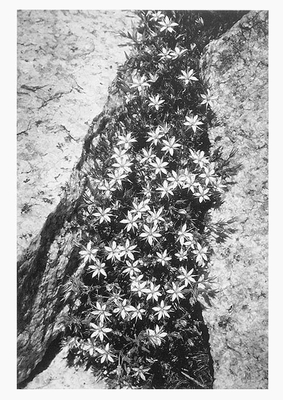 FLOWERS AND ROCK, SAN JOAQUIN SIERRA, 1936