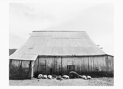 PIGS IN SHADE, NICASIO, CA, 1980