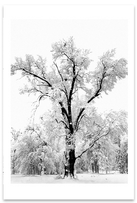 OAK TREE, SNOWSTORM, YOSEMITE NATIONAL PARK, CA, c 1948
