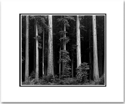 REDWOODS, BULL CREEK FLATS, CALIFORNIA
