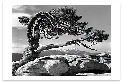 JEFFREY PINE, YOSEMITE NATIONAL PARK, CA, c 1940