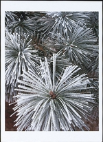 FROSTED PONDEROSA PINE NEEDLES