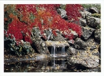 RED LEAF JAPANESE MAPLE, TROUT POND, CAPITOL PARK, SACRAMENTO, CA, 1985
