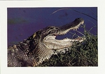 AMERICAN ALLIGATOR, FLORIDA