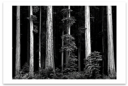 REDWOODS, BULL CREEK FLAT, NORTHERN CA, c 1960