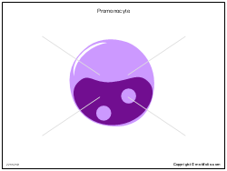 Promonocyte