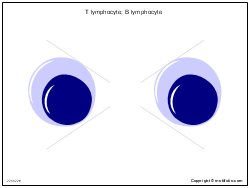 T lymphocyte; B lymphocyte
