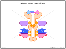 Activated receptor tyrosine kinase