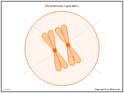 Chromosome replication